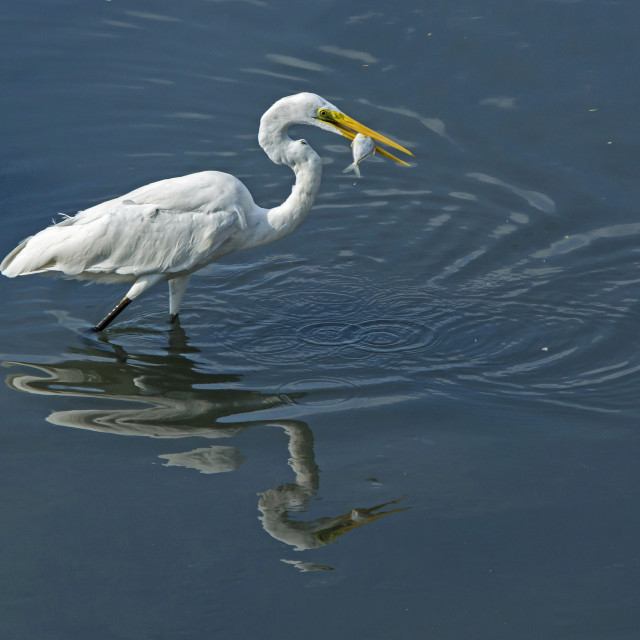 """Great Egret (Ardea alba) (X)"" stock image"