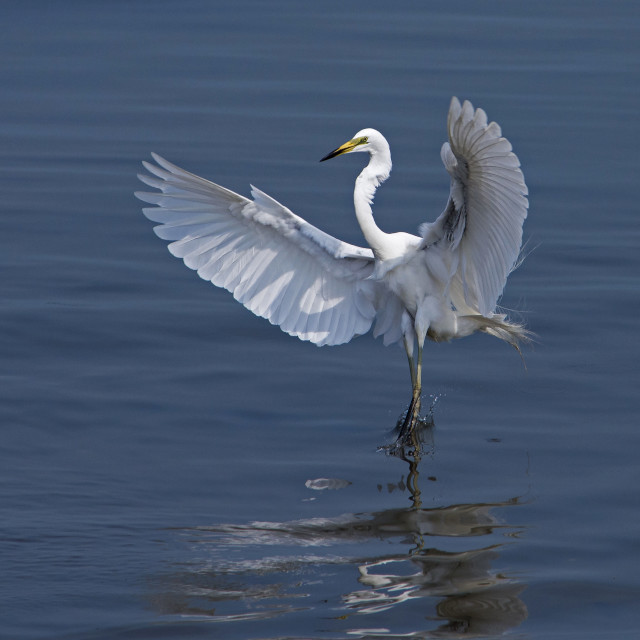 """Great Egret (Ardea alba) (XI)"" stock image"