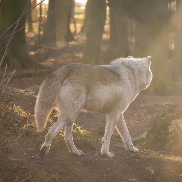 """Patrolling Gray Wolf"" stock image"