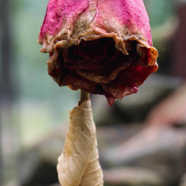 """Dead rose"" stock image"