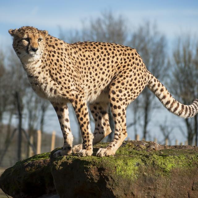 """Cheetah scanning the surroundings"" stock image"
