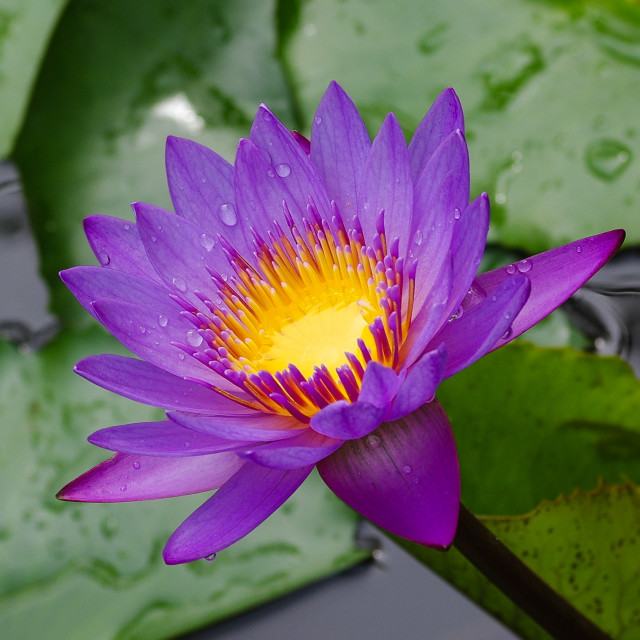 """""""A waterlily"""" stock image"""