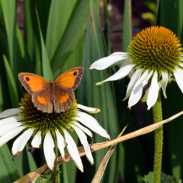 """""""Gate keeper butterfly"""" stock image"""