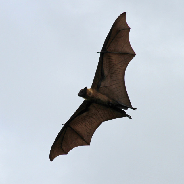 """flying fruit bat"" stock image"