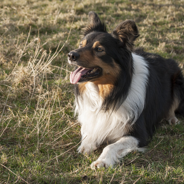 """""""Obedient Sheepdog"""" stock image"""