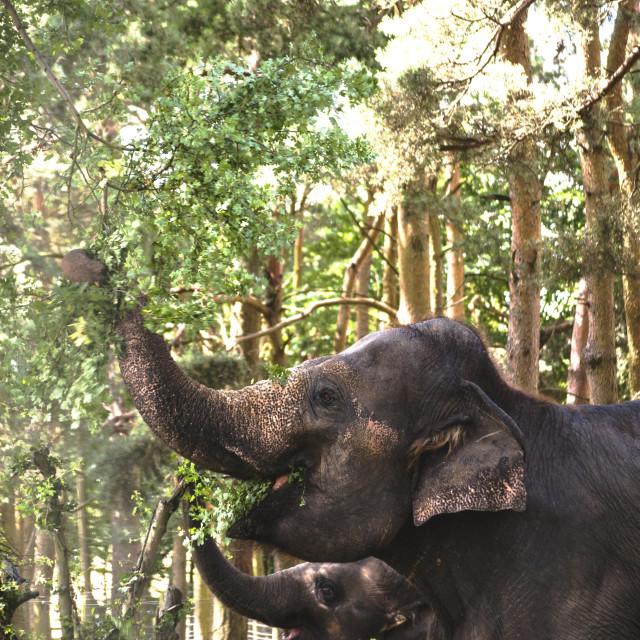 """A group of elephants feeding"" stock image"