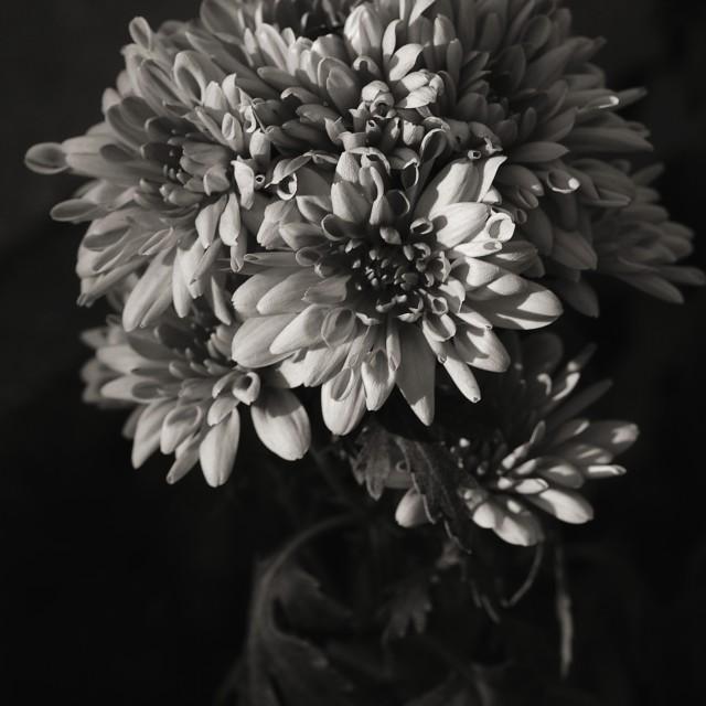 """Chrysanthemum"" stock image"