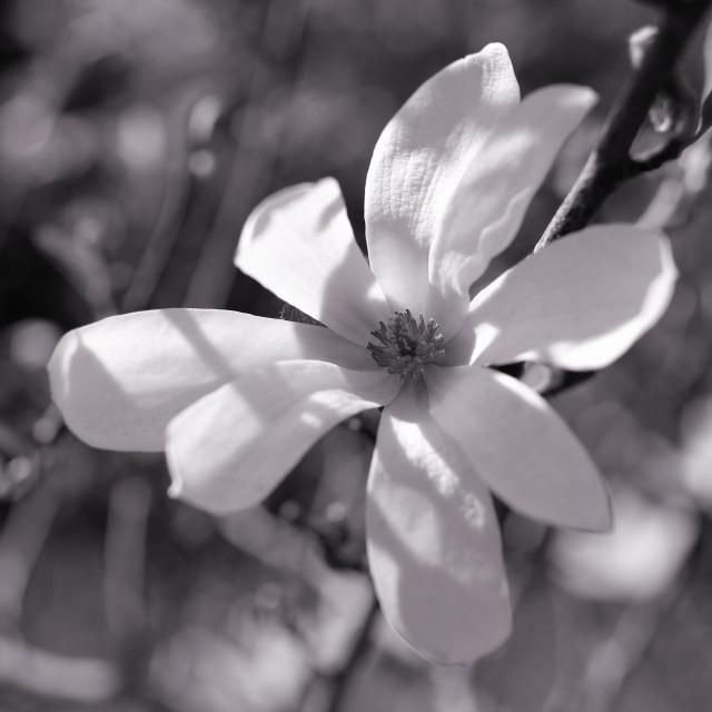 """White Magnolia"" stock image"
