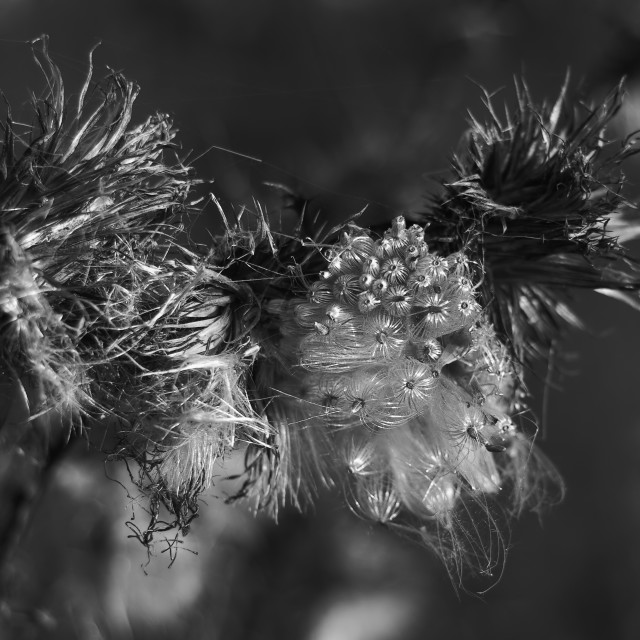 """Thistle Seeds"" stock image"