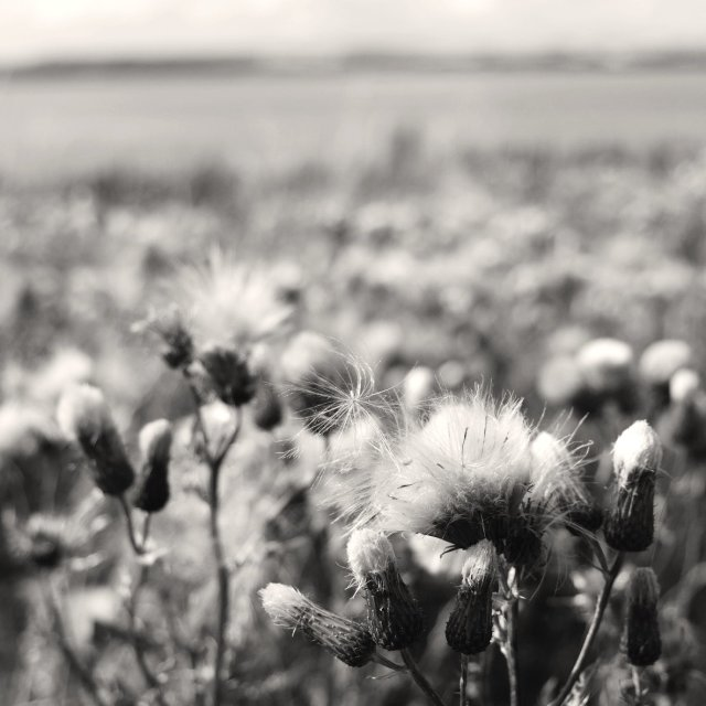 """""""Field of Thistles"""" stock image"""