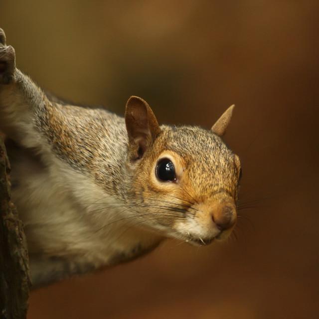 """""""Inquisitive squirrel"""" stock image"""