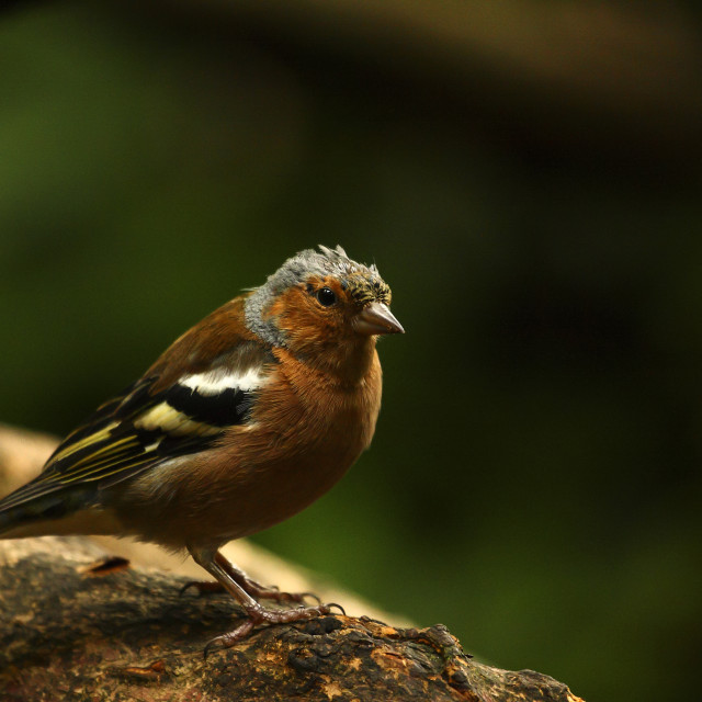 """""""Chaffinch on a branch"""" stock image"""