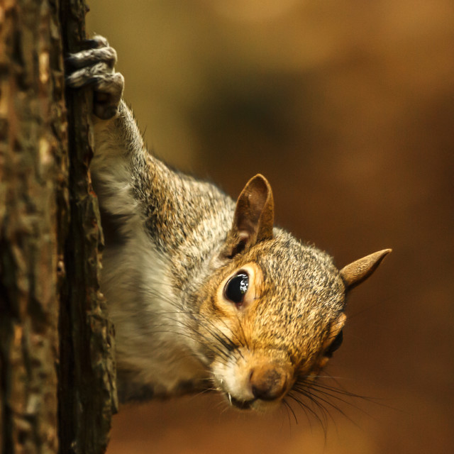 """Inquisitive squirrel"" stock image"