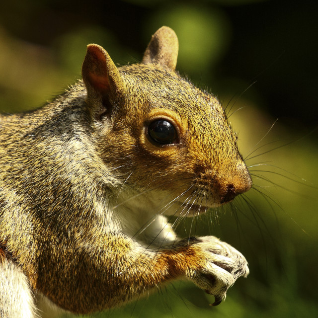 """""""Squirrel eating"""" stock image"""