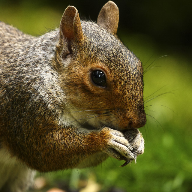 """Squirrel eating"" stock image"