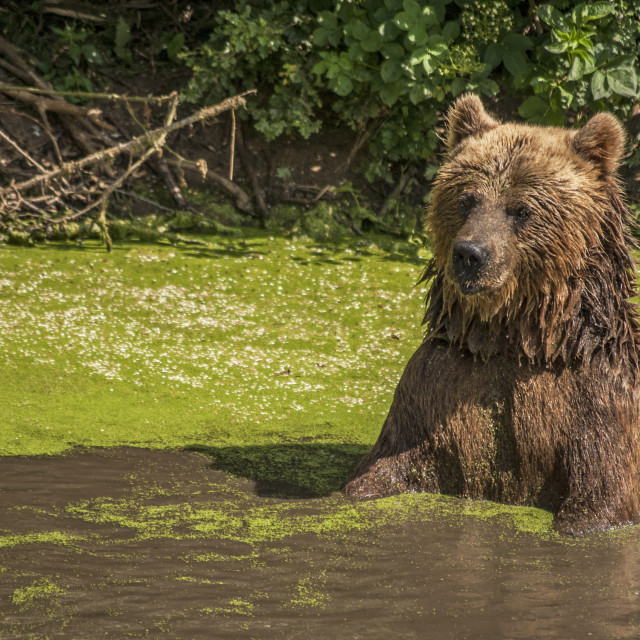 """""""Grizzly Bear in a lake"""" stock image"""