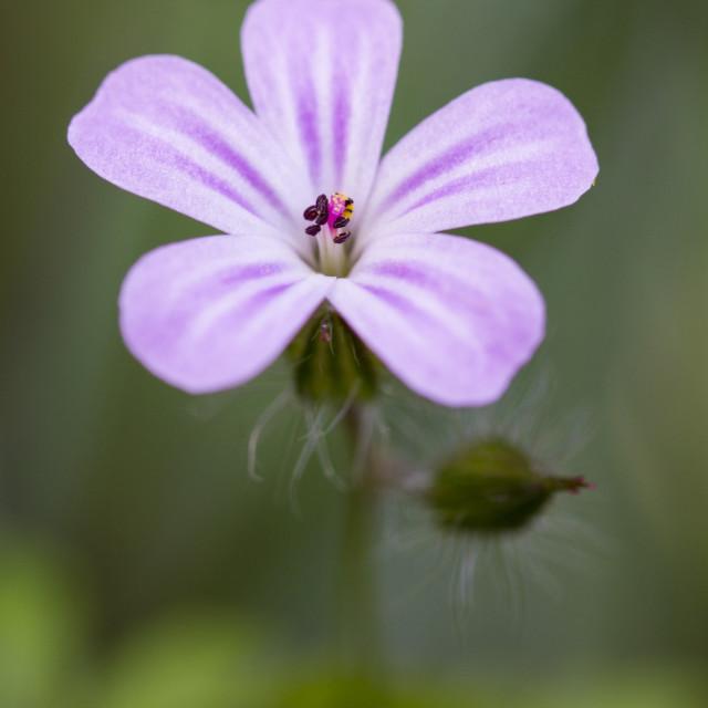 """""""Geranium Robertianum"""" stock image"""