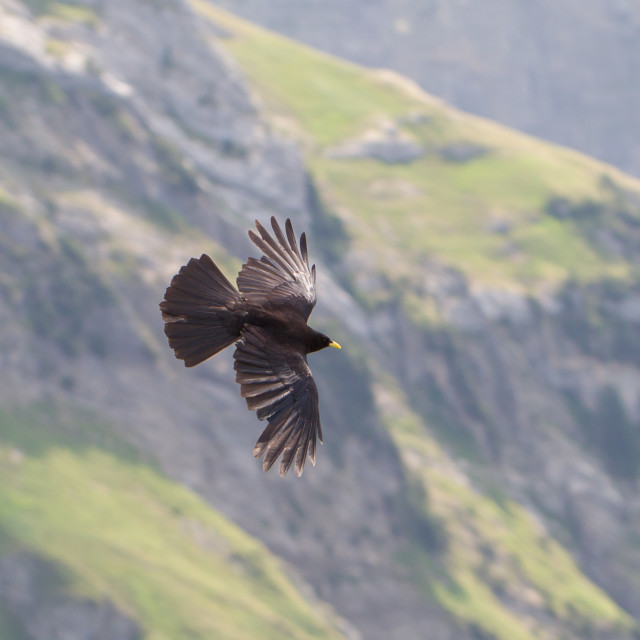 """Alpine Chough (Pyrrhocorax graculus) flying"" stock image"
