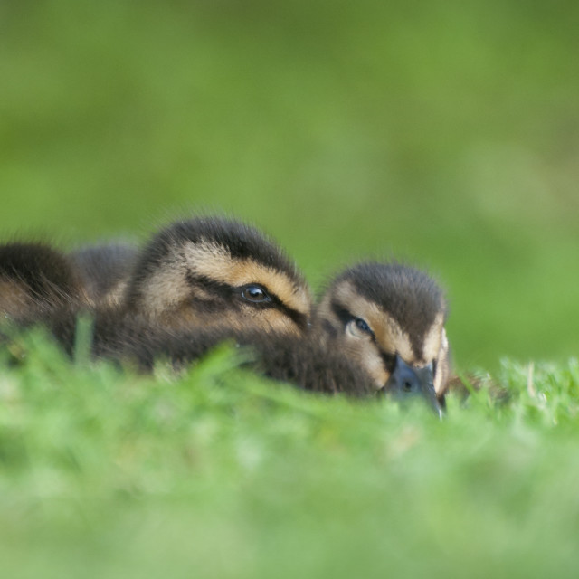 """Ducklings Resting in the Grass"" stock image"