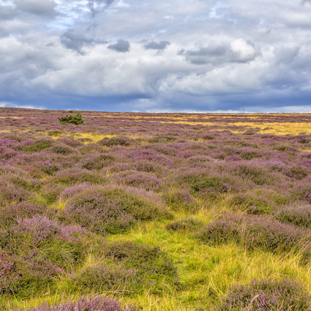 """""""Yorkshire moors in August"""" stock image"""
