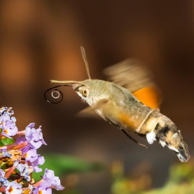 """Hummingbird hawk-moth"" stock image"