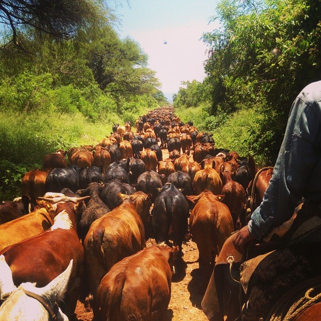 """Cattle Drive"" stock image"