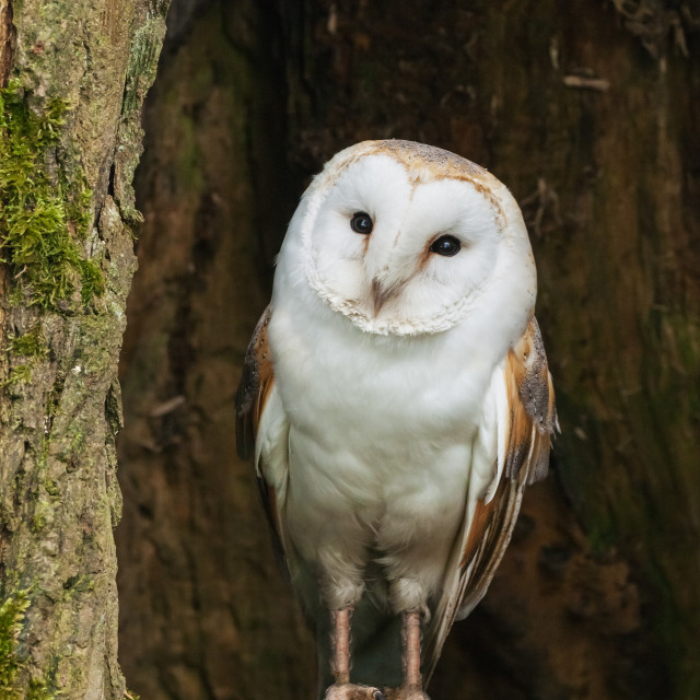 """Barn Owl resting in a hollowed out tree trunk"" stock image"
