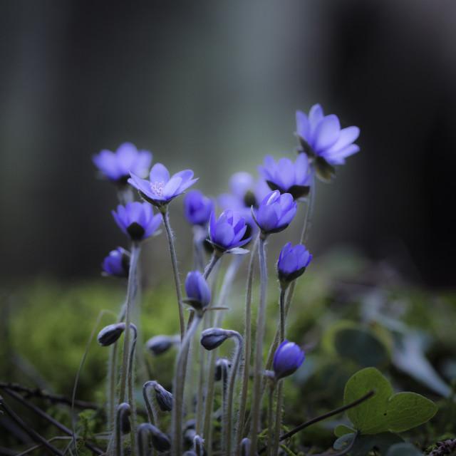 """Hepatica nobilis"" stock image"