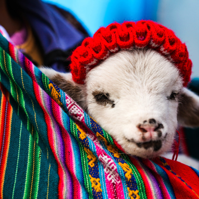 """Colorful Baby Alpaca"" stock image"