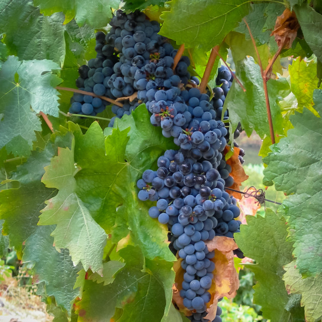 """Grapes on vine ready for harvest"" stock image"