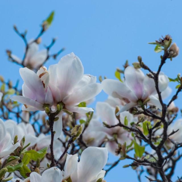 """""""Magnolia blossoms"""" stock image"""
