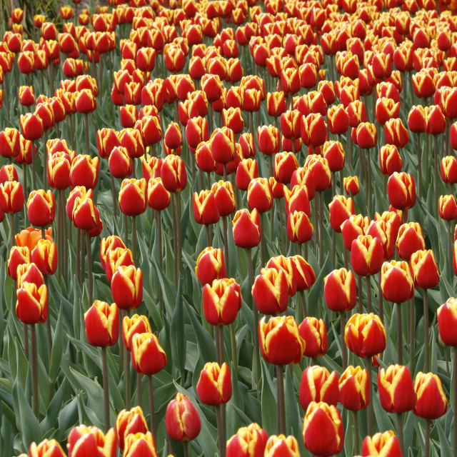 """""""Tulipa Denmark at RHS Harlow Carr in Yorkshire."""" stock image"""