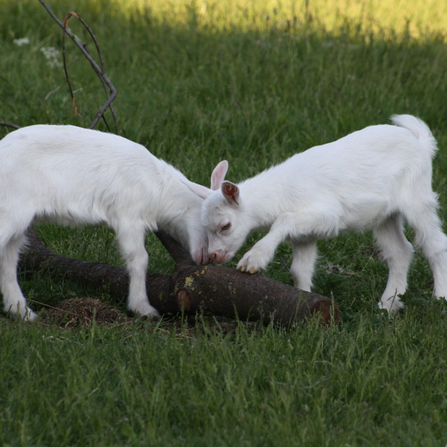 """""""young goats"""" stock image"""
