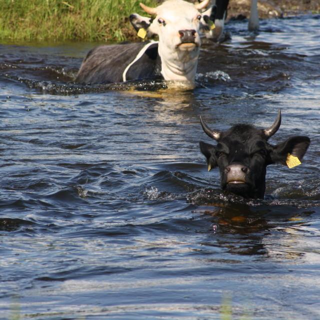 """""""Biebrza river cows"""" stock image"""