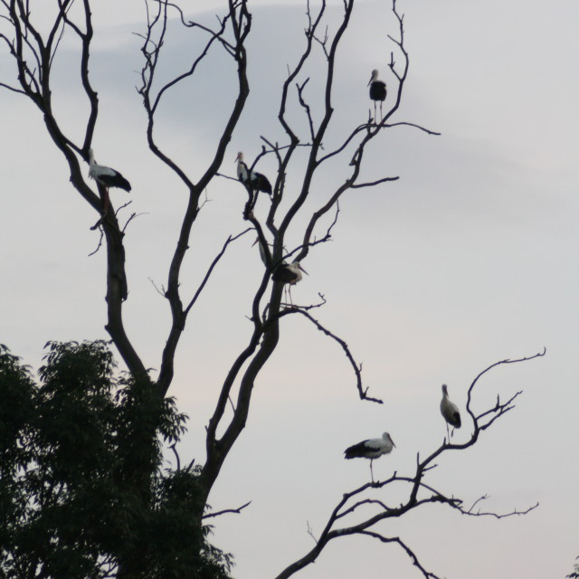 """Stork departure"" stock image"