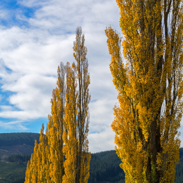 """Tall autumn trees in New Zealand."" stock image"