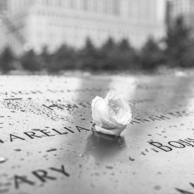 """White rose memorial"" stock image"
