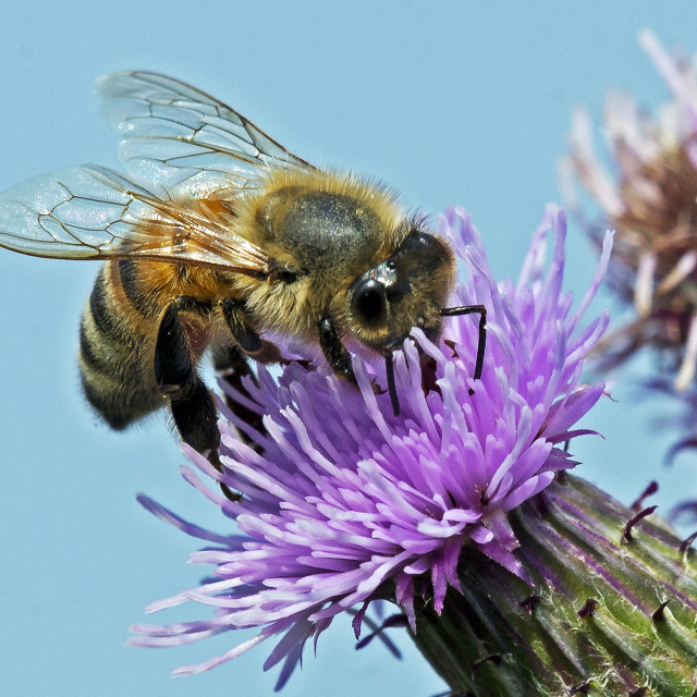 """A Worker Bee on a Thistle Head"" stock image"
