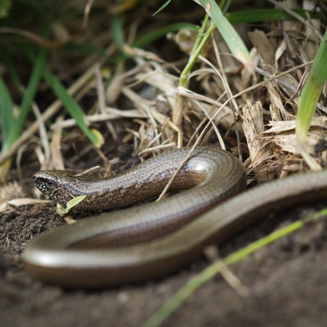 """""""Slowworm"""" stock image"""