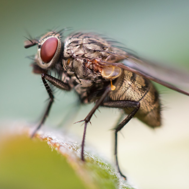 """House Fly"" stock image"