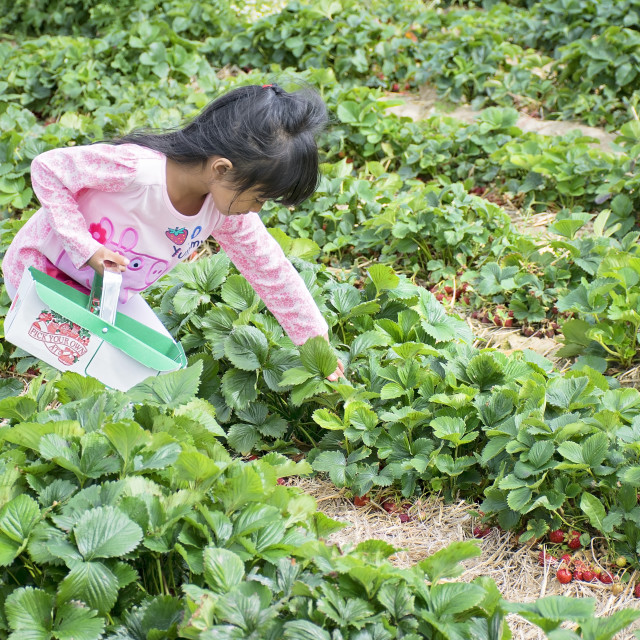 """Young girl strawberry picking"" stock image"