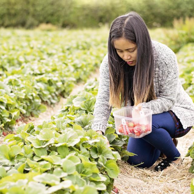 """strawberry picking"" stock image"
