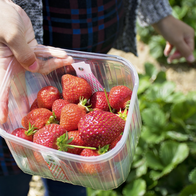 """""""The freshest stawberries"""" stock image"""