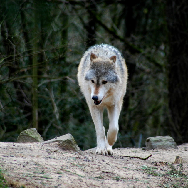"""""""Wolf in woods."""" stock image"""