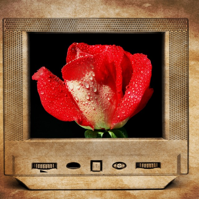 """Red rose on TV"" stock image"