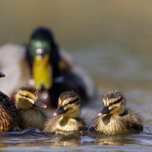 """Mallards"" stock image"