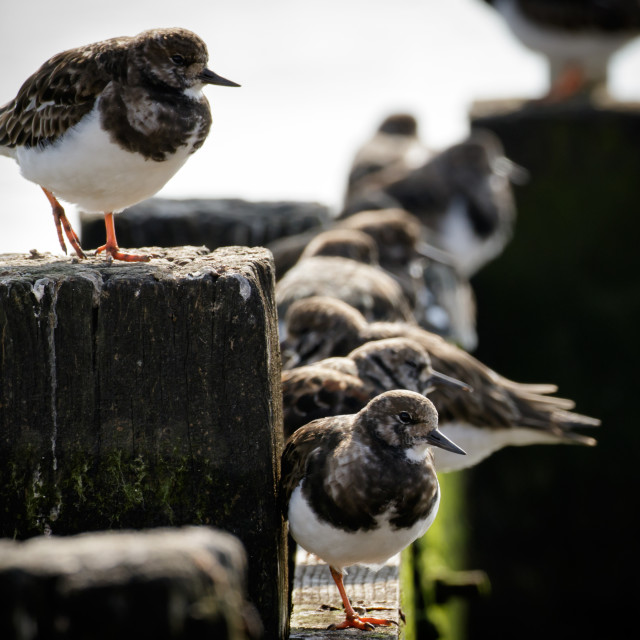"""Turnstones"" stock image"