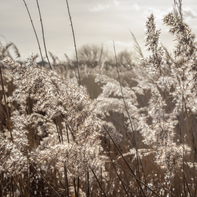 """Reedbed"" stock image"
