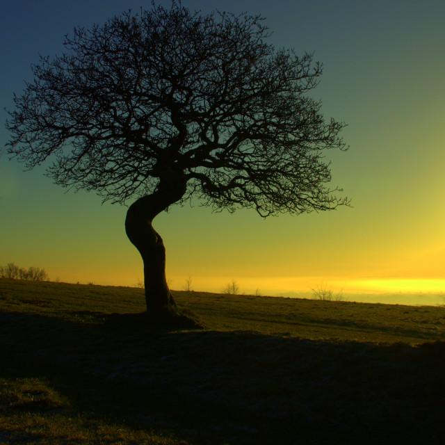 """Twisted Oak at Sunset"" stock image"
