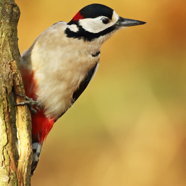 """Male Great Spotted Woodpecker"" stock image"